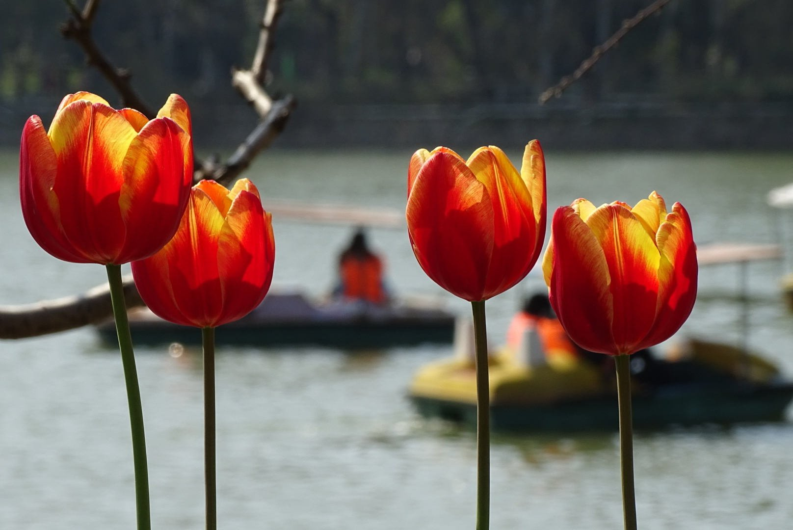 Tulips in the foreground, boaters on the West Lake in the background